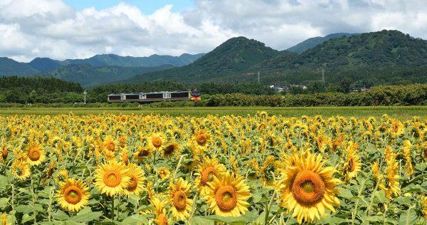 The Resort Shirakami passes by fields of sunflowers.