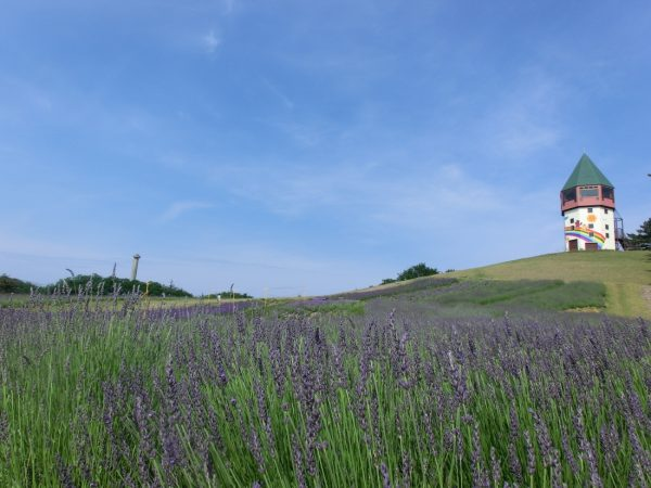 Lavender fields at Ponpoko Yama Park.