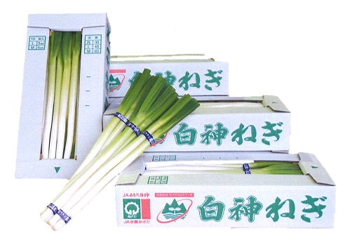 Shirakami green onion.