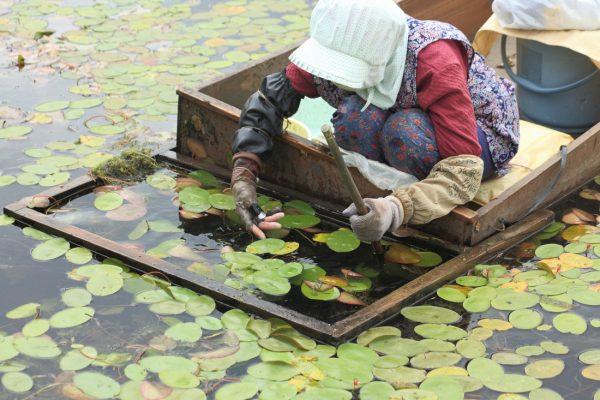 Junsai harvesting in Mitane Town.