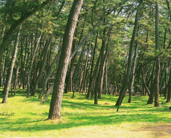 Pine groves of Kaze no Matsubara.