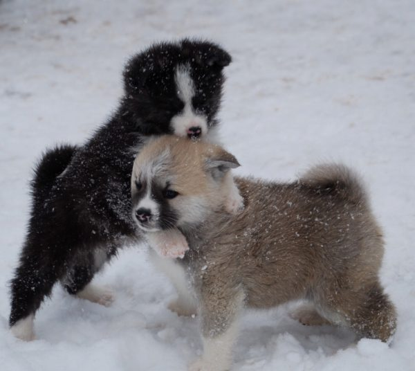 Akita puppies playing in the snow.