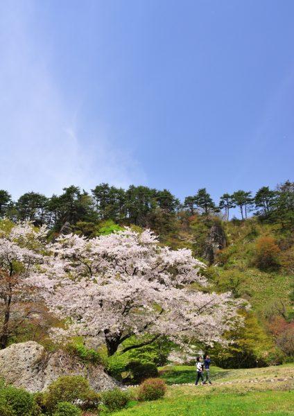 Kimimachizaka Park in spring.