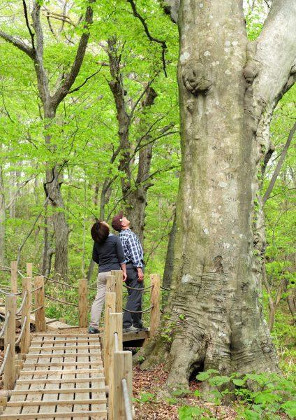 Trekking Tomeyama Forest in Happo Town.