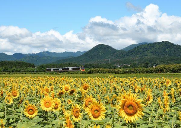 Resort Shirakami Train passing through sunflower field