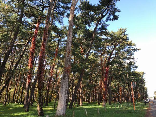 Pine groves of Kaze no Matsubara.