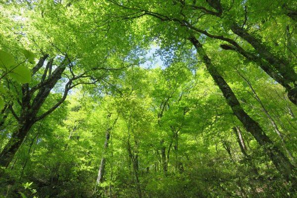 Dakedai Forest in Fujisato Town.