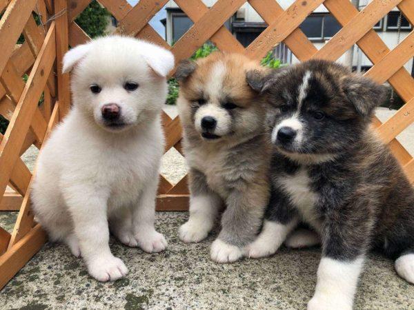 Cute Akita puppies.