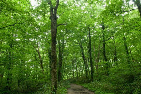 juniko beech forest