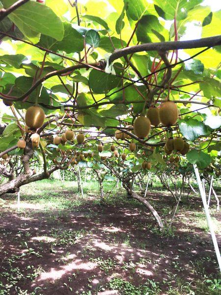 Kiwi trees galore.