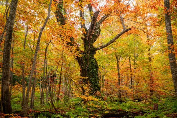 400-year-old beech in Dakedai Forest.